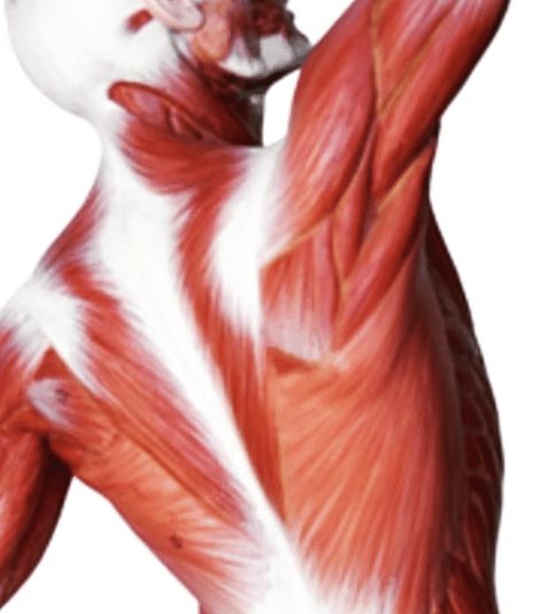 MUSCLE DORSAUX 1